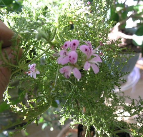 Scented Geraniums Pelargoniums By Paula Szilard What They Are If You Enjoy Plants With A